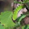 Didysis dviuodegis - Cerura vinula | Fotografijos autorius : Elmaras Duderis | © Macrogamta.lt | Šis tinklapis priklauso bendruomenei kuri domisi makro fotografija ir fotografuoja gyvąjį makro pasaulį.