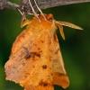 Didysis geltonsprindis - Ennomos autumnaria | Fotografijos autorius : Gintautas Steiblys | © Macrogamta.lt | Šis tinklapis priklauso bendruomenei kuri domisi makro fotografija ir fotografuoja gyvąjį makro pasaulį.
