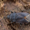 Dirvablakė - Drymus ryeii | Fotografijos autorius : Žilvinas Pūtys | © Macrogamta.lt | Šis tinklapis priklauso bendruomenei kuri domisi makro fotografija ir fotografuoja gyvąjį makro pasaulį.