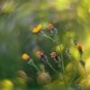 Dirvinė pienė - Sonchus arvensis | Fotografijos autorius : Vidas Brazauskas | © Macrogamta.lt | Šis tinklapis priklauso bendruomenei kuri domisi makro fotografija ir fotografuoja gyvąjį makro pasaulį.