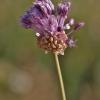 Dirvinis česnakas - Allium vineale | Fotografijos autorius : Kęstutis Obelevičius | © Macrogamta.lt | Šis tinklapis priklauso bendruomenei kuri domisi makro fotografija ir fotografuoja gyvąjį makro pasaulį.