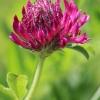 Alpinis dobilas - Trifolium alpestre | Fotografijos autorius : Gintautas Steiblys | © Macrogamta.lt | Šis tinklapis priklauso bendruomenei kuri domisi makro fotografija ir fotografuoja gyvąjį makro pasaulį.