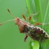 Dryžapilvė kampuotblakė - Rhopalus subrufus | Fotografijos autorius : Vidas Brazauskas | © Macrogamta.lt | Šis tinklapis priklauso bendruomenei kuri domisi makro fotografija ir fotografuoja gyvąjį makro pasaulį.