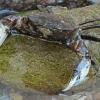 Dumblinis krabas - Rhithropanopeus harrisii | Fotografijos autorius : Gintautas Steiblys | © Macrogamta.lt | Šis tinklapis priklauso bendruomenei kuri domisi makro fotografija ir fotografuoja gyvąjį makro pasaulį.