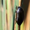 Dusia - Colymbetes sp. | Fotografijos autorius : Ramunė Vakarė | © Macrogamta.lt | Šis tinklapis priklauso bendruomenei kuri domisi makro fotografija ir fotografuoja gyvąjį makro pasaulį.