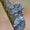 Dvijuostė drimonija - Drymonia ruficornis   Fotografijos autorius : Arūnas Eismantas   © Macrogamta.lt   Šis tinklapis priklauso bendruomenei kuri domisi makro fotografija ir fotografuoja gyvąjį makro pasaulį.