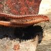 Dviporiakojis šimtakojis - Diplopoda | Fotografijos autorius : Ramunė Vakarė | © Macrogamta.lt | Šis tinklapis priklauso bendruomenei kuri domisi makro fotografija ir fotografuoja gyvąjį makro pasaulį.