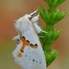Dvispalvis kuoduotis - Leucodonta bicoloria   Fotografijos autorius : Arūnas Eismantas   © Macrogamta.lt   Šis tinklapis priklauso bendruomenei kuri domisi makro fotografija ir fotografuoja gyvąjį makro pasaulį.