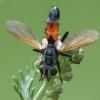 Dygliamusė - Cylindromyia brassicaria   Fotografijos autorius : Vidas Brazauskas   © Macrogamta.lt   Šis tinklapis priklauso bendruomenei kuri domisi makro fotografija ir fotografuoja gyvąjį makro pasaulį.