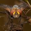 Dygliamusė - Ectophasia crassipennis | Fotografijos autorius : Žilvinas Pūtys | © Macrogamta.lt | Šis tinklapis priklauso bendruomenei kuri domisi makro fotografija ir fotografuoja gyvąjį makro pasaulį.