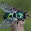 Žalioji dygliamusė - Gymnocheta viridis | Fotografijos autorius : Žilvinas Pūtys | © Macrogamta.lt | Šis tinklapis priklauso bendruomenei kuri domisi makro fotografija ir fotografuoja gyvąjį makro pasaulį.