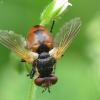 Dygliamusė - Gymnosoma sp. | Fotografijos autorius : Vidas Brazauskas | © Macrogamta.lt | Šis tinklapis priklauso bendruomenei kuri domisi makro fotografija ir fotografuoja gyvąjį makro pasaulį.
