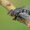 Dygliamusė - Huebneria affinis   Fotografijos autorius : Gintautas Steiblys   © Macrogamta.lt   Šis tinklapis priklauso bendruomenei kuri domisi makro fotografija ir fotografuoja gyvąjį makro pasaulį.