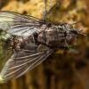 Dygliamusė - Lypha dubia | Fotografijos autorius : Žilvinas Pūtys | © Macrogamta.lt | Šis tinklapis priklauso bendruomenei kuri domisi makro fotografija ir fotografuoja gyvąjį makro pasaulį.
