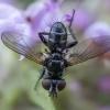 Dygliamusė - Phania funesta | Fotografijos autorius : Žilvinas Pūtys | © Macrogamta.lt | Šis tinklapis priklauso bendruomenei kuri domisi makro fotografija ir fotografuoja gyvąjį makro pasaulį.