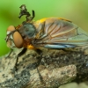 Dygliamusė - Phasia hemiptera ♂ | Fotografijos autorius : Žilvinas Pūtys | © Macrogamta.lt | Šis tinklapis priklauso bendruomenei kuri domisi makro fotografija ir fotografuoja gyvąjį makro pasaulį.