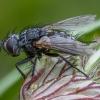 Dygliamusė - Phorocera obscura ♀ | Fotografijos autorius : Žilvinas Pūtys | © Macrogamta.lt | Šis tinklapis priklauso bendruomenei kuri domisi makro fotografija ir fotografuoja gyvąjį makro pasaulį.