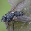 Dygliamusė - Phorocera obscura | Fotografijos autorius : Žilvinas Pūtys | © Macrogamta.lt | Šis tinklapis priklauso bendruomenei kuri domisi makro fotografija ir fotografuoja gyvąjį makro pasaulį.