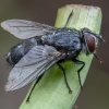 Dygliamusė - Sturmia bella ♀ | Fotografijos autorius : Žilvinas Pūtys | © Macrogamta.lt | Šis tinklapis priklauso bendruomenei kuri domisi makro fotografija ir fotografuoja gyvąjį makro pasaulį.