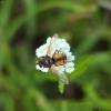 Dygliamusė - Tachina fera ? | Fotografijos autorius : Vidas Brazauskas | © Macrogamta.lt | Šis tinklapis priklauso bendruomenei kuri domisi makro fotografija ir fotografuoja gyvąjį makro pasaulį.