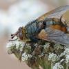 Dygliamusė - Tachina fera | Fotografijos autorius : Gintautas Steiblys | © Macrogamta.lt | Šis tinklapis priklauso bendruomenei kuri domisi makro fotografija ir fotografuoja gyvąjį makro pasaulį.