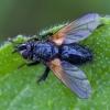 Dygliamusė - Zophomyia temula | Fotografijos autorius : Žilvinas Pūtys | © Macrogamta.lt | Šis tinklapis priklauso bendruomenei kuri domisi makro fotografija ir fotografuoja gyvąjį makro pasaulį.