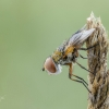 Dygliamusė | Ectophasia crassipennis | Fotografijos autorius : Darius Baužys | © Macrogamta.lt | Šis tinklapis priklauso bendruomenei kuri domisi makro fotografija ir fotografuoja gyvąjį makro pasaulį.