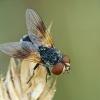 Dygliamusė - Ectophasia crassipennis | Fotografijos autorius : Gintautas Steiblys | © Macrogamta.lt | Šis tinklapis priklauso bendruomenei kuri domisi makro fotografija ir fotografuoja gyvąjį makro pasaulį.