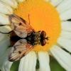 Dygliamusė - Ectophasia crassipennis | Fotografijos autorius : Ramunė Vakarė | © Macrogamta.lt | Šis tinklapis priklauso bendruomenei kuri domisi makro fotografija ir fotografuoja gyvąjį makro pasaulį.