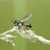 Dygliamusė - Cylindromyia sp.   Fotografijos autorius : Vidas Brazauskas   © Macrogamta.lt   Šis tinklapis priklauso bendruomenei kuri domisi makro fotografija ir fotografuoja gyvąjį makro pasaulį.