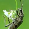 Dygusis ragijus - Rhagium mordax | Fotografijos autorius : Ramunė Vakarė | © Macrogamta.lt | Šis tinklapis priklauso bendruomenei kuri domisi makro fotografija ir fotografuoja gyvąjį makro pasaulį.