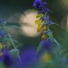 Krūminis kūpolis – Melampyrum nemorosum | Fotografijos autorius : Agnė Našlėnienė | © Macrogamta.lt | Šis tinklapis priklauso bendruomenei kuri domisi makro fotografija ir fotografuoja gyvąjį makro pasaulį.
