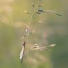 Elegantiškoji strėliukė - Ichnura elegans | Fotografijos autorius : Marius Čepulis | © Macrogamta.lt | Šis tinklapis priklauso bendruomenei kuri domisi makro fotografija ir fotografuoja gyvąjį makro pasaulį.