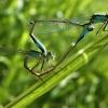 Elegantiškoji strėliukė - Ischnura elegans | Fotografijos autorius : Agnė Kulpytė | © Macrogamta.lt | Šis tinklapis priklauso bendruomenei kuri domisi makro fotografija ir fotografuoja gyvąjį makro pasaulį.