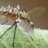 Entomophthora muscae ?? | Fotografijos autorius : Gintautas Steiblys | © Macrogamta.lt | Šis tinklapis priklauso bendruomenei kuri domisi makro fotografija ir fotografuoja gyvąjį makro pasaulį.