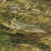 Epyrinė varlė - Pelophylax epeiroticus | Fotografijos autorius : Gintautas Steiblys | © Macrogamta.lt | Šis tinklapis priklauso bendruomenei kuri domisi makro fotografija ir fotografuoja gyvąjį makro pasaulį.