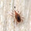 Erkutė - Bdellidae | Fotografijos autorius : Vidas Brazauskas | © Macrogamta.lt | Šis tinklapis priklauso bendruomenei kuri domisi makro fotografija ir fotografuoja gyvąjį makro pasaulį.