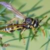 Europinė popiervapsvė | European paper wasp | Polistes dominula | Fotografijos autorius : Darius Baužys | © Macrogamta.lt | Šis tinklapis priklauso bendruomenei kuri domisi makro fotografija ir fotografuoja gyvąjį makro pasaulį.