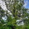 Felinkos ąžuolas | Fotografijos autorius : Gintautas Steiblys | © Macrogamta.lt | Šis tinklapis priklauso bendruomenei kuri domisi makro fotografija ir fotografuoja gyvąjį makro pasaulį.