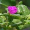 Širdžialapė traškenė - Aptenia cordifolia | Fotografijos autorius : Gintautas Steiblys | © Macrogamta.lt | Šis tinklapis priklauso bendruomenei kuri domisi makro fotografija ir fotografuoja gyvąjį makro pasaulį.