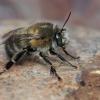 Gaurabitė - Anthophora plumipes ♂ | Fotografijos autorius : Gintautas Steiblys | © Macrogamta.lt | Šis tinklapis priklauso bendruomenei kuri domisi makro fotografija ir fotografuoja gyvąjį makro pasaulį.
