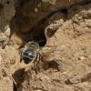 Gaurabitė - Anthophora plumipes  | Fotografijos autorius : Zita Gasiūnaitė | © Macrogamta.lt | Šis tinklapis priklauso bendruomenei kuri domisi makro fotografija ir fotografuoja gyvąjį makro pasaulį.