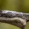 Gaurometinis gumbinis momfidas - Mompha divisella   Fotografijos autorius : Žilvinas Pūtys   © Macrogamta.lt   Šis tinklapis priklauso bendruomenei kuri domisi makro fotografija ir fotografuoja gyvąjį makro pasaulį.