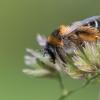 Gauruotakojė bitė - Dasypoda altercator    Fotografijos autorius : Dalia Račkauskaitė   © Macrogamta.lt   Šis tinklapis priklauso bendruomenei kuri domisi makro fotografija ir fotografuoja gyvąjį makro pasaulį.