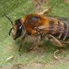 Bitė - Melitta leporina   Fotografijos autorius : Gintautas Steiblys   © Macrogamta.lt   Šis tinklapis priklauso bendruomenei kuri domisi makro fotografija ir fotografuoja gyvąjį makro pasaulį.