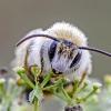 Gauruotakojė bitė - Dasypoda cf. altercator   Fotografijos autorius : Darius Baužys   © Macrogamta.lt   Šis tinklapis priklauso bendruomenei kuri domisi makro fotografija ir fotografuoja gyvąjį makro pasaulį.