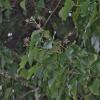 Gebenė lipikė - Hedera helix | Fotografijos autorius : Kęstutis Obelevičius | © Macrogamta.lt | Šis tinklapis priklauso bendruomenei kuri domisi makro fotografija ir fotografuoja gyvąjį makro pasaulį.