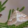 Gelsvasis ankstyvasis sprindžius - Agriopis marginaria | Fotografijos autorius : Vaida Paznekaitė | © Macrogamta.lt | Šis tinklapis priklauso bendruomenei kuri domisi makro fotografija ir fotografuoja gyvąjį makro pasaulį.