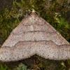 Gelsvasis ankstyvasis sprindžius - Agriopis marginaria | Fotografijos autorius : Žilvinas Pūtys | © Macrogamta.lt | Šis tinklapis priklauso bendruomenei kuri domisi makro fotografija ir fotografuoja gyvąjį makro pasaulį.