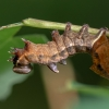 Gelsvasis kuoduotis - Notodonta ziczaci | Fotografijos autorius : Dalia Račkauskaitė | © Macrogamta.lt | Šis tinklapis priklauso bendruomenei kuri domisi makro fotografija ir fotografuoja gyvąjį makro pasaulį.